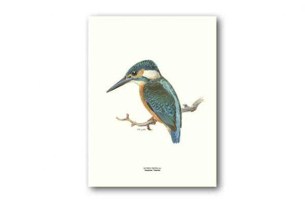 Affisch Medium Kungsfiskare Medium Von Wright Kalenderspecialisten