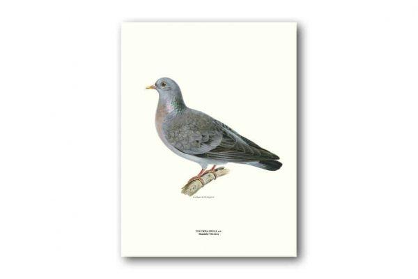 Affisch Medium Skogsduva Von Wright Kalenderspecialisten