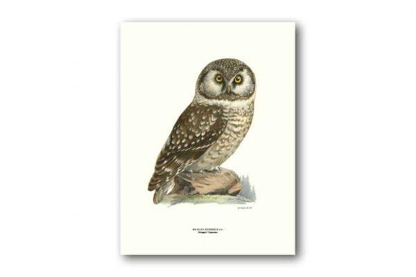 Affisch Medium Pärluggla Von Wright Kalenderspecialisten